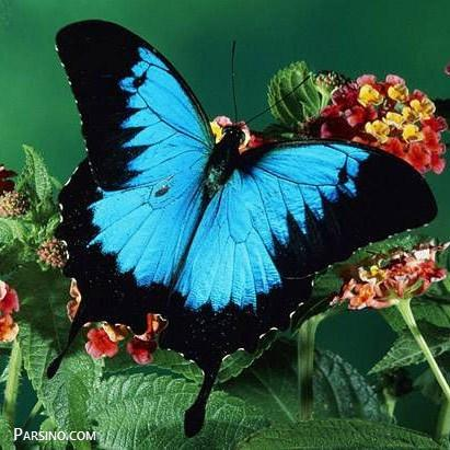 تصاویر پروانه , عکس های پروانه , انواع پروانه , پروانه های زیبا